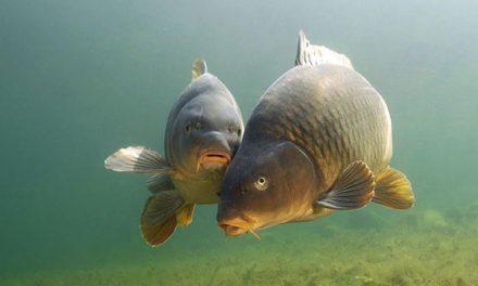 шараните – един от основните видове предпочитан за риболов